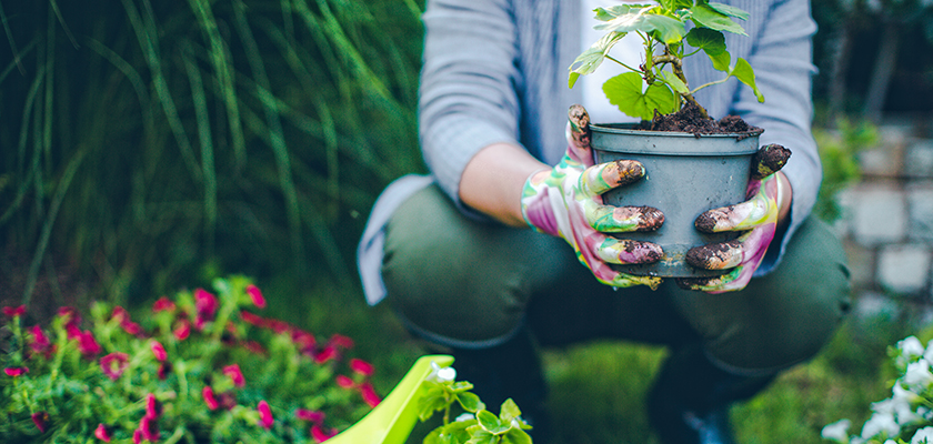 Gardener holding a newly potted plant