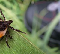 Tick sitting on a leaf.